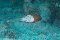 BD-131207-Marsa-Alam-0861-Bodianus-anthioides-(Bennett.-1832)-[Lyretail-hogfish].jpg